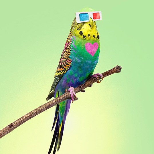 Cool Parakeet with Glasses
